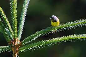 August - MacGillivray's Warbler (male)