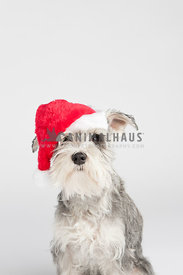 portrait of a miniature schnauzer wearing a santa hat on a white background