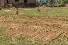 Brush grass drying in a garden.  The grass is used for thatching roofs and making brooms.