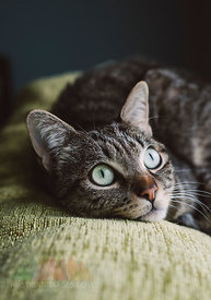 Portrait of tabby cat lying on top of a couch