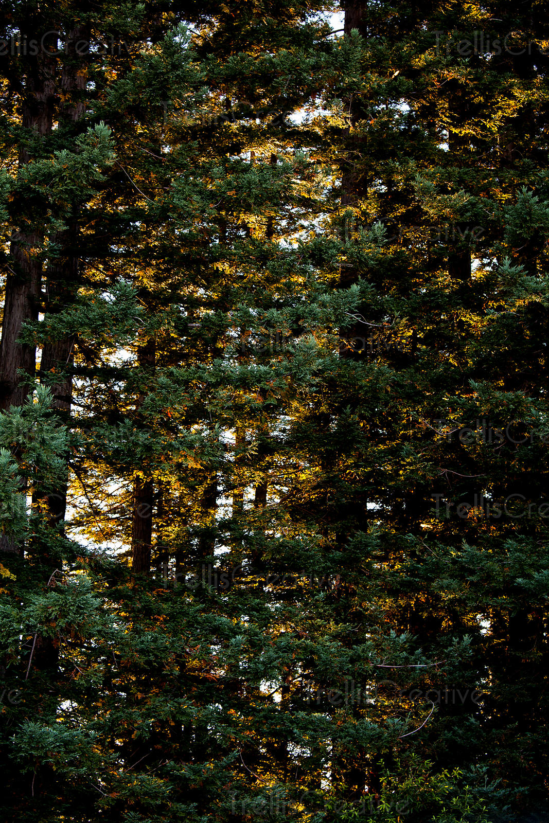 Tall coniferous trees with a dense canopy