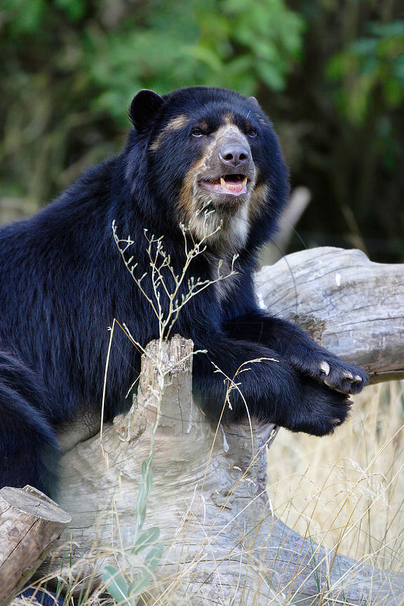 Ours à lunettes - Spectacled bear (Tremarctos ornatus)