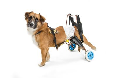 Small Disabled Dog in Wheelchair