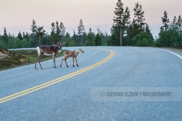 Reindeer calf and mother crossing the road in Saariselkä