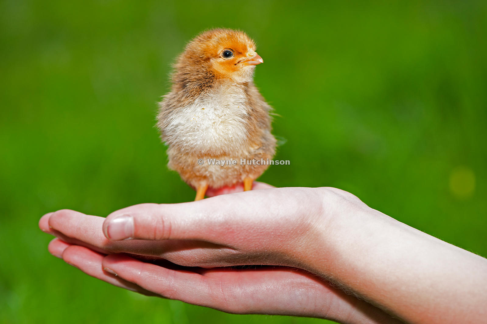 Day old poultry chick being held in a childs hand.