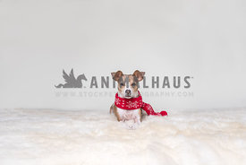 Small dog wearing red scarf on fur rug against a white background