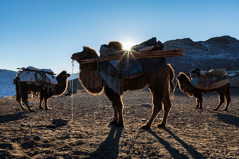 Bactrian Camels Ready for Loading