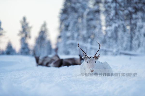 The white reindeer