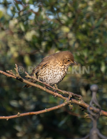Song thrush on a branch