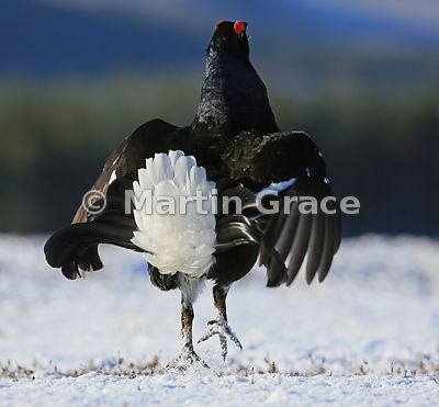 Male Black Grouse (Lyrurus (Tetrao) tetrix) performing a flutter-jump on the lek, Royal Deeside, Scotland