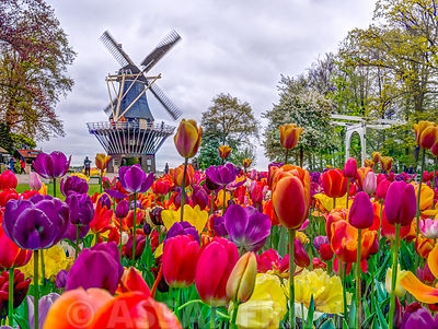Colourful Tulips in Keukenhof garden, Netherlands