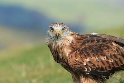 Red kite (captive)