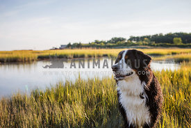 Bermese Mountain Dog in the Water