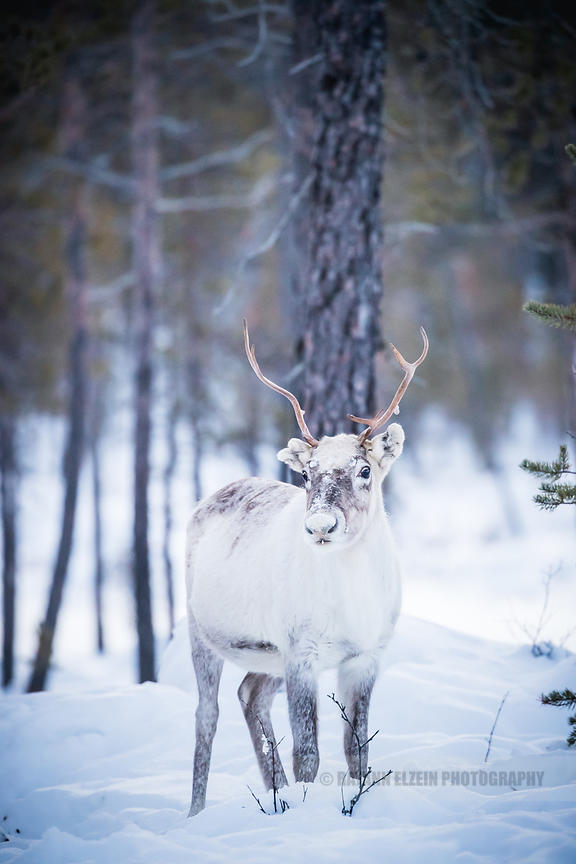 Reindeer in the forest in Lapland