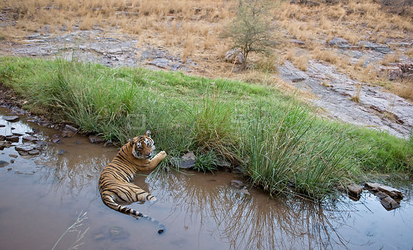 Bengal tiger (Panthera tigris tigris) female cooling off in pond, Ranthambore NP, Rajasthan, India