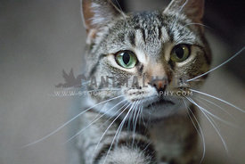 female tabby with green eyes