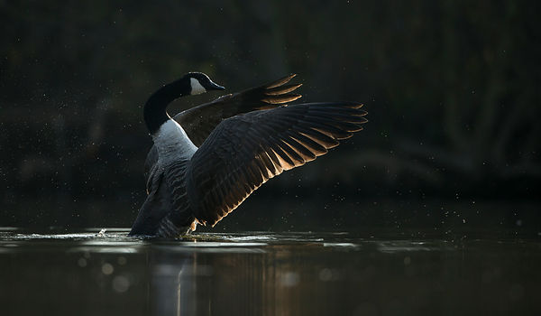 Canada Goose at Dawn, Yorkshire