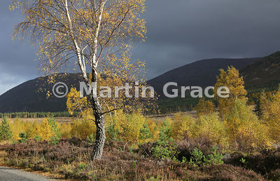 Sunlit autumnal birch trees (Betula sp) in Glen Feshie, with Scots Pines (Pinus sylvestris var scotica) behind, Inverness-shi...