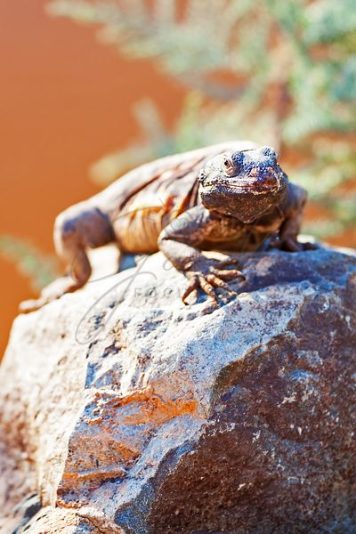 Alert Chuckwalla On Rock