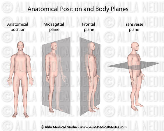 Anatomical position and planes.