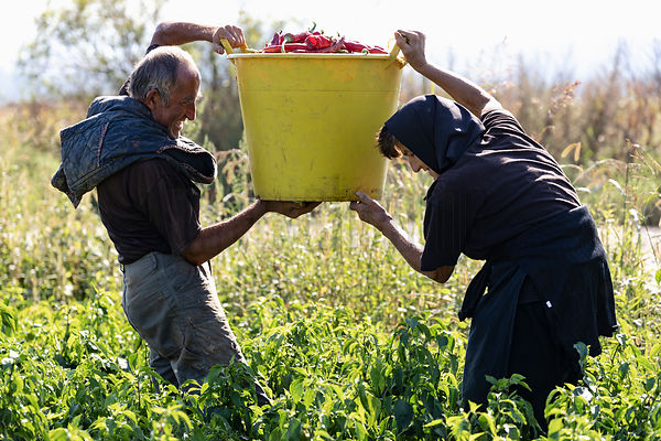 Slobodan and Lela Nedelikovic Lifting a Tub of Freshly-Picked Peppers