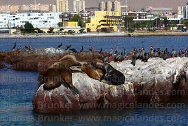 South American sea lions (Otaria flavescens) and red legged or Gaimards cormorants (Phalacrocorax gaimardi) , Iquique , Regio...