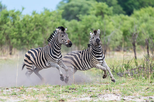 Zebra Stallions Fighting