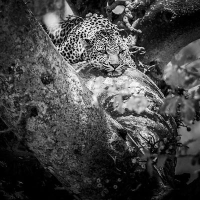 4731-Tired_leopard_in_a_tree_Laurent_Baheux