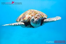 Underwater close up of sea turtle in Barbados