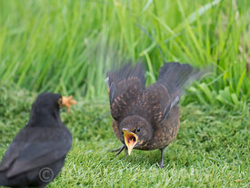 Blackbird Turdus merula male feeding fledgling Holt Norfolk spring