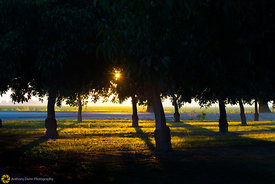 Setting sun through the Walnut Trees #2