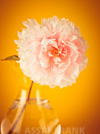 Peony flower in a vase