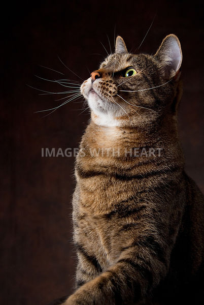 3/4 body of curious adult brown tabby with white whiskers on brown background
