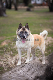 Akita on log facing camera