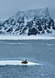Walrus (Odobenus rosmarus) pair on ice in landscape, Svalbard, Norway
