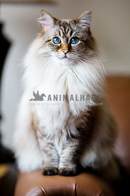 blue eyed ragdoll cat sitting on couch