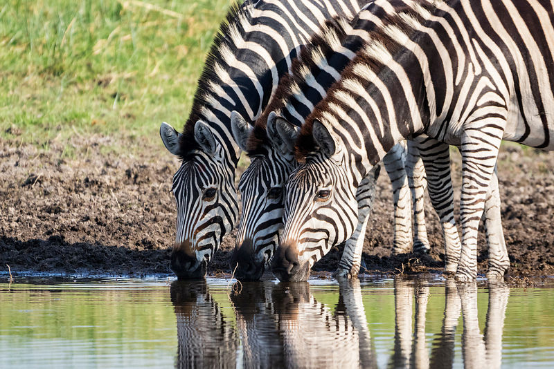 Three Zebras at a Waterhole.