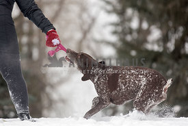 Pointer playing tug with mom