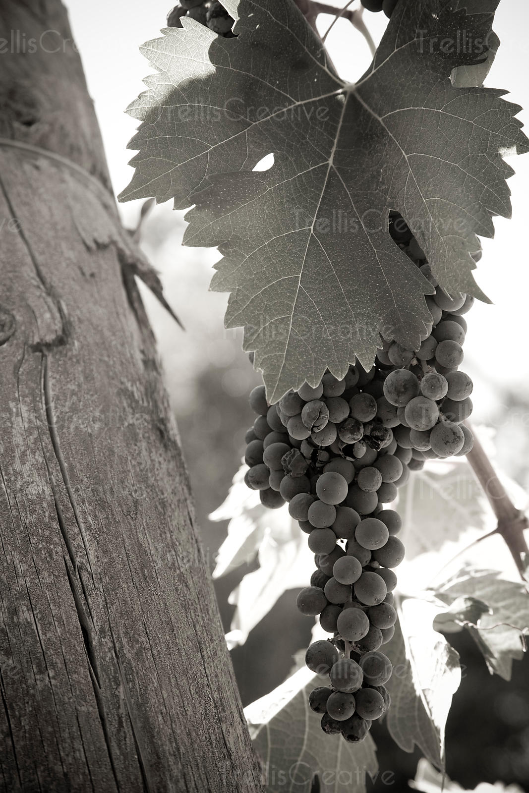 Clusters of ripe merlot wine grapes hanging on the vine