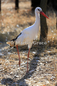 White Stork (Ciconia ciconia), North West Province, Republic of South Africa