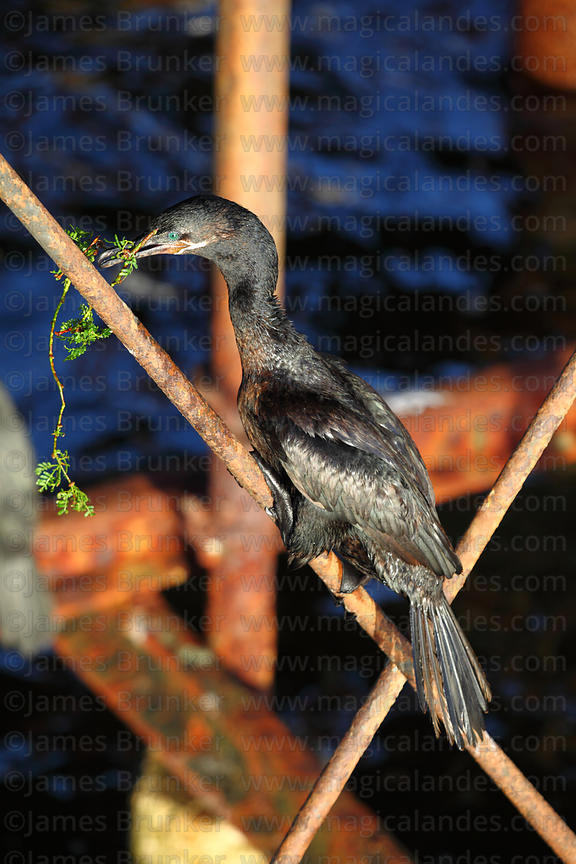 Adult Olivaceous or Neotropic cormorant ( Phalacrocorax brasilianus ) on pier with fresh nesting material