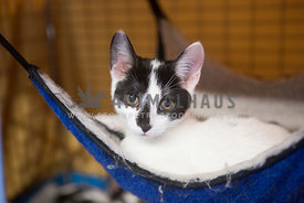 Black and white rescue cat in hammock