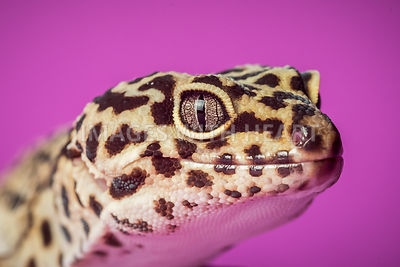 leopard_gecko_spotted_purple_close_up