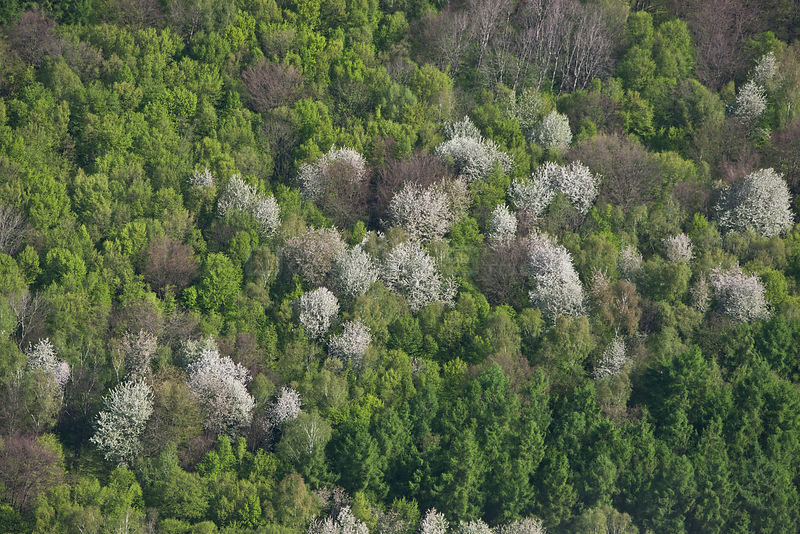 Aerial view of forest with white flowering wild Cherry Trees (Prunus) in spring. Elm, Lower Saxony, Germany, Europe, April 2012.