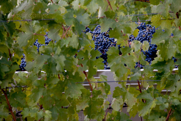 Clusters of harvested cabernet sauvignon grapes seen through a canopy of vines
