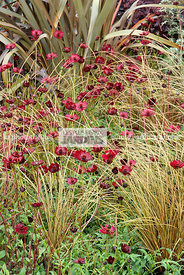 Association : Cosmos atrosanguineus 'Chocamocha' (cosmos chocolat), Carex comans 'Bronze Perfection'. Paysagiste : Clive Scot...