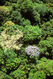 Rainforest Canopy with Tree in Bloom, Amazon Region, Para, Brazil.
