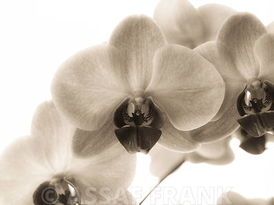 Orchid flower close-up