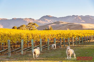 Vineyard at sunset with sheep, Marlborough, New Zealand