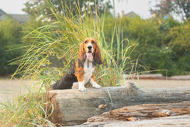 basset hound with front legs propped up on a large log on the beach